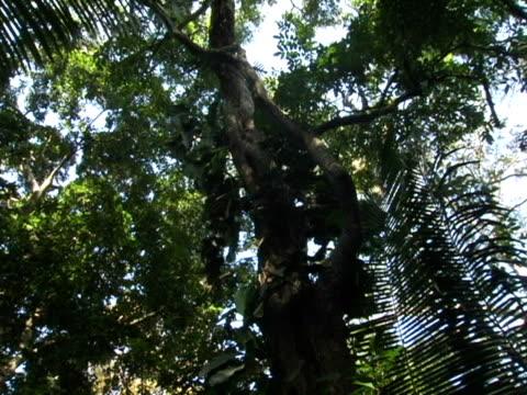MS, LA, PAN, Honduras, Tropical jungle canopy