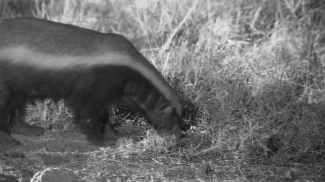 honey badger digging and foraging at night. - foraging stock videos and b-roll footage