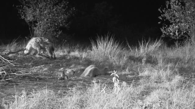 Honey badger digging at night as hyena scavenges in background.