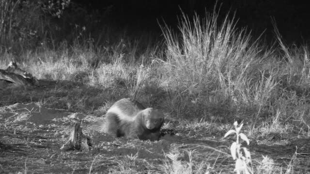 Honey badger digging at night.