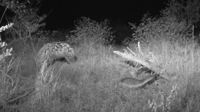 Honey badger digs in foreground while spotted hyena raids badgers other caches in background.