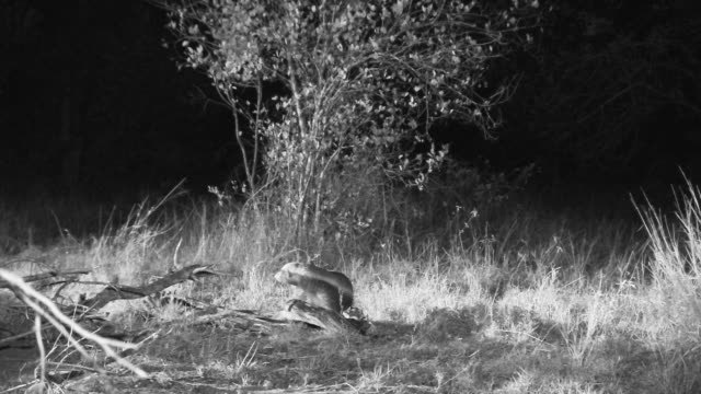 Honey badger foraging at night, Jackal prowls in background.