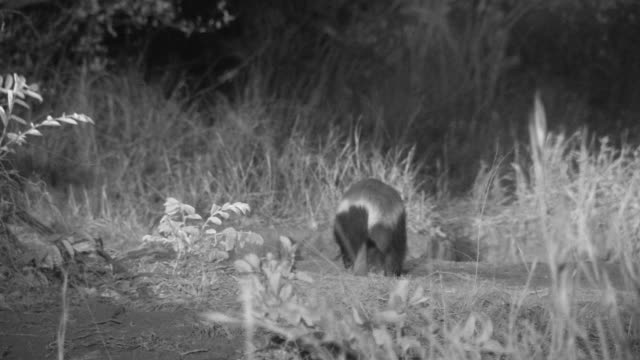Honey badger foraging at night.