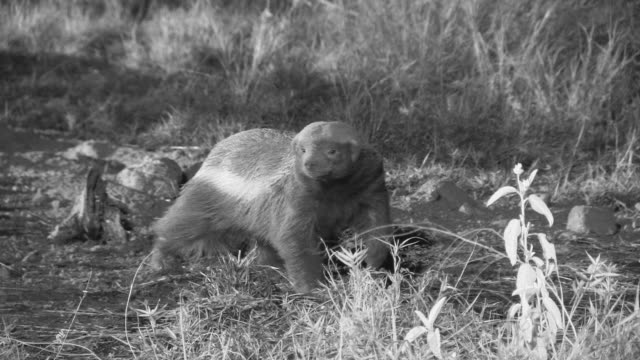 Honey badger prowls around at night before starting to dig.