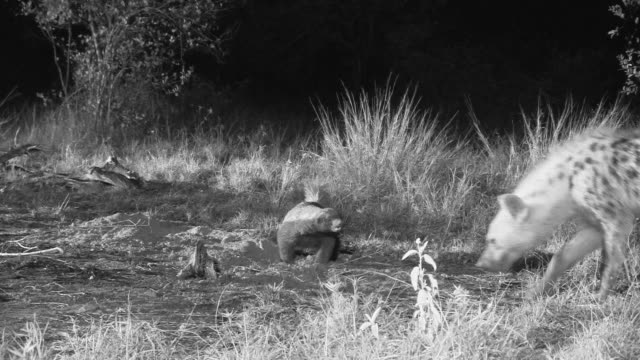 Honey badger stands ground as hyena sniffs around.