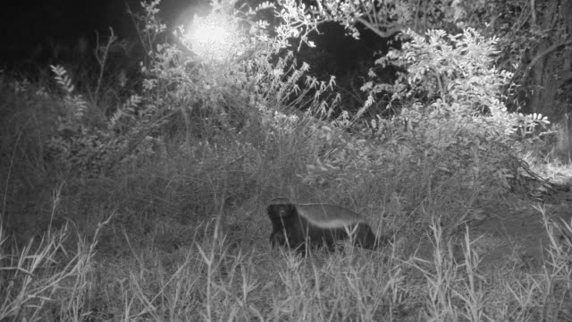 Honey badger trots through grass at night.