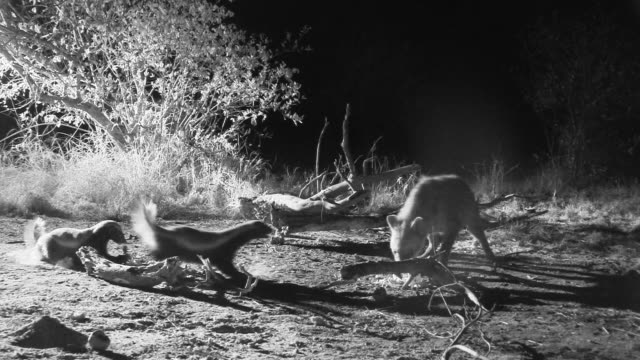 Honey badgers and face off against hyenas in uneasy confrontation.