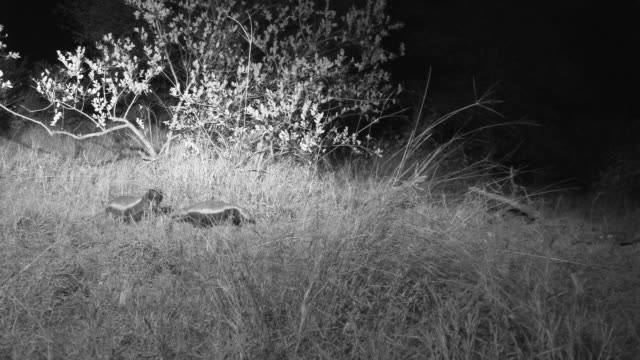 Honey badgers roam around bushes at night illuminated by torches.