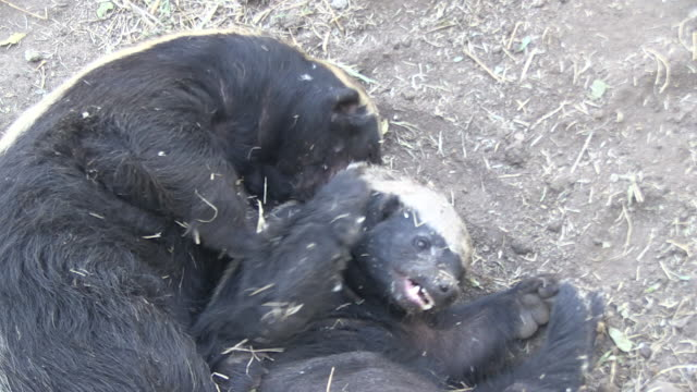 Honey badgers roll in dirt and wrestle with each other.