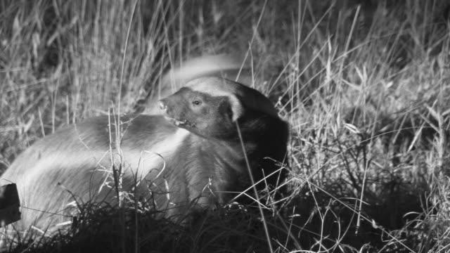 honey badgers walk through grass. - krüger nationalpark stock-videos und b-roll-filmmaterial
