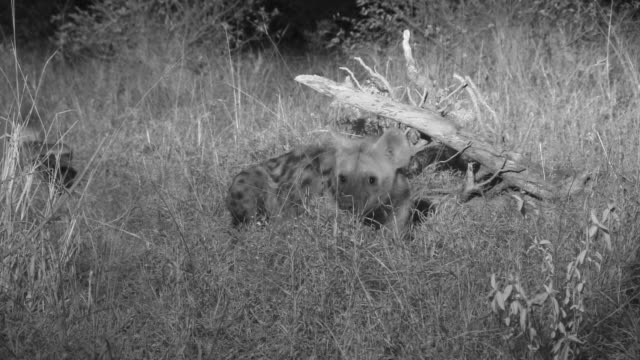 Honey badgers watch warily as spotted hyena eats their food.
