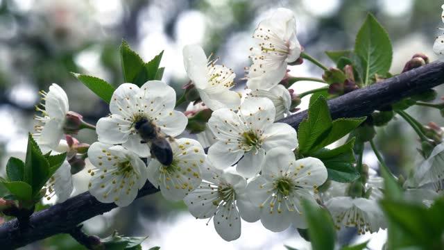 vídeos de stock, filmes e b-roll de flor de abelha de mel de uma cerejeira - parte do corpo animal