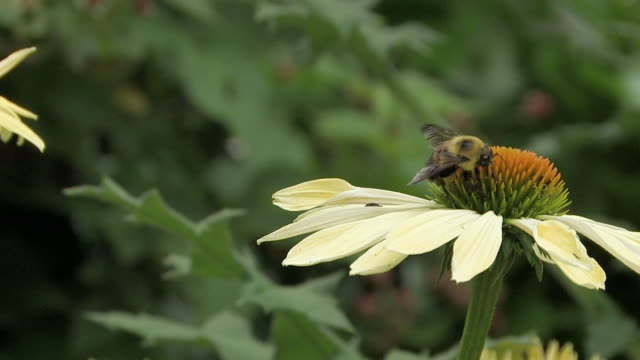 vidéos et rushes de cu honey bee collecting nectar from daisy flower, north plainfield, new jersey, usa - marguerite