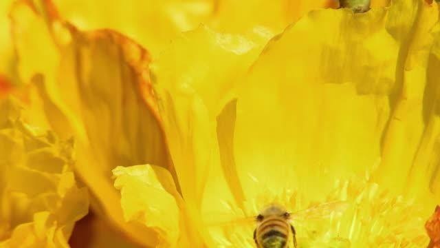 cu shaky honey bee collecting pollen from california golden poppy flowers, north plainfield, new jersey, usa - staubblatt stock-videos und b-roll-filmmaterial