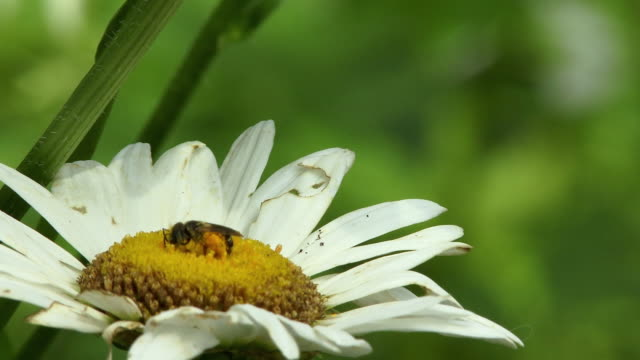 vidéos et rushes de cu selective focus honey bee collecting pollen from daisy flower, north plainfield, new jersey, usa - marguerite