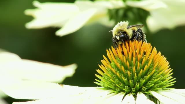 ecu selective focus honey bee collecting pollen from flower, north plainfield, new jersey, usa - staubblatt stock-videos und b-roll-filmmaterial