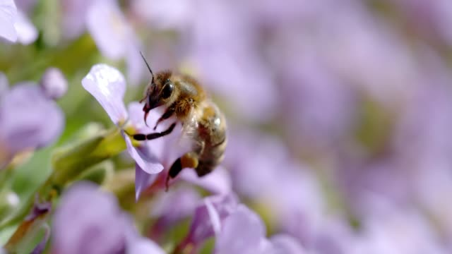 vídeos de stock e filmes b-roll de slo mo ecu honey bee collecting pollen on a flower - abelha