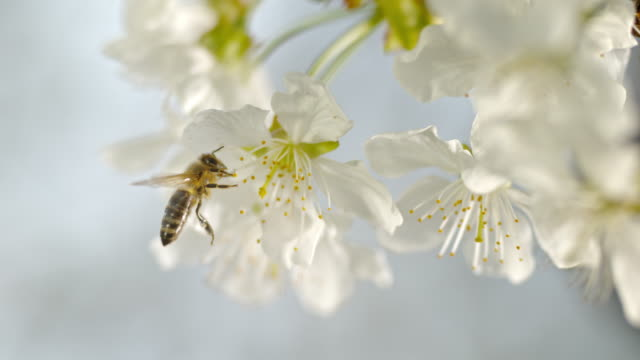 vídeos de stock e filmes b-roll de slo mo ld honey bee collecting pollen on a white blossom - abelha