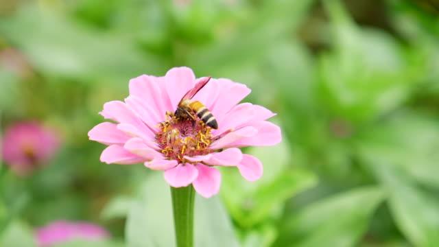 vídeos de stock, filmes e b-roll de abelha do mel que coleta o pólen na flor cor-de-rosa, tiro do movimento lento - abelha obreira