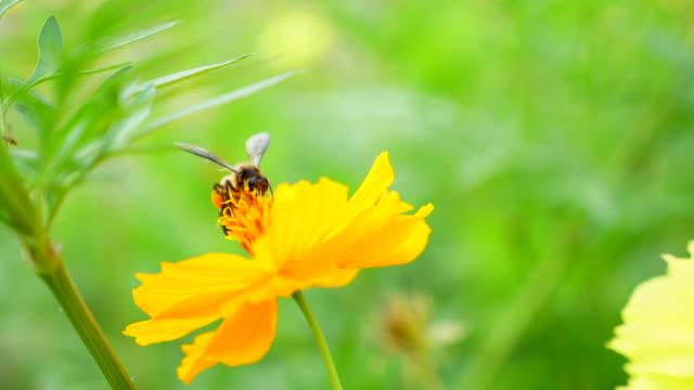 stockvideo's en b-roll-footage met honey bee verzamelen stuifmeel op gele blossom flower - honingbij
