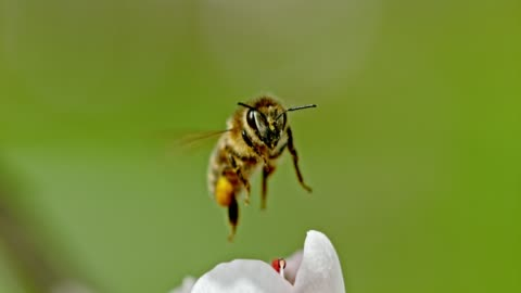 slo mo ecu honey bee collecting pollen - insect stock videos & royalty-free footage
