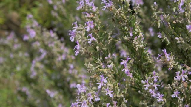 honey bee (apis mellifera) feeding on nectar from rosemary flowers (rosmarinus officinalis). filmed in andalusia, spain - ローズマリー点の映像素材/bロール