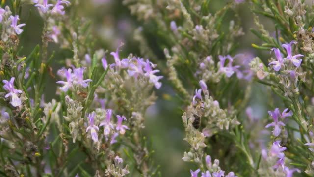 Honey bee (Apis mellifera) feeding on nectar from rosemary flowers (Rosmarinus officinalis). Filmed in Andalusia, Spain