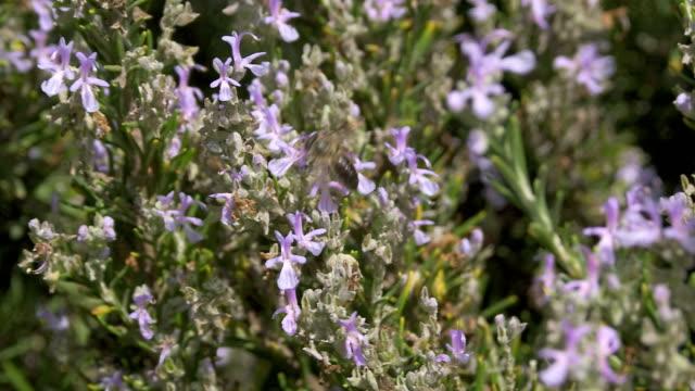 Honey bee feeding on rosemary flowers