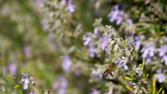 honey bee feeding on rosemary flowers - ローズマリー点の映像素材/bロール