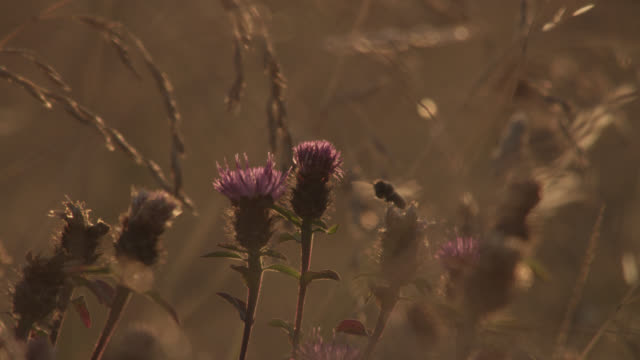 vídeos de stock, filmes e b-roll de honey bee (apis mellifera) feeds in summer hay meadow at sunset, essex, england - polinização
