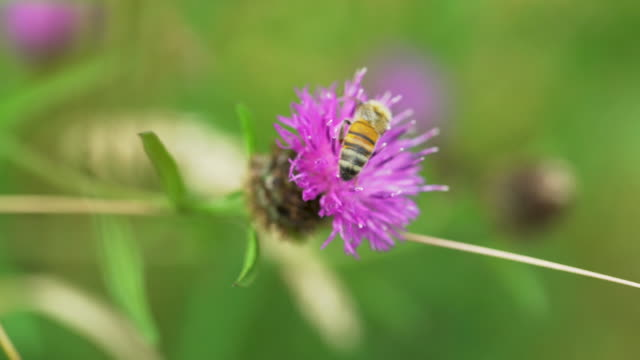 honey bee feeds on purple thistle flower then flies away - pollination stock videos & royalty-free footage