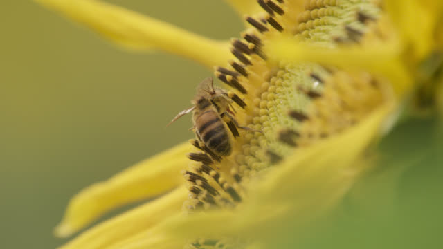 Honey bee (Apis mellifera) feeds on sunflower (Helianthus) in field, Worcestershire, England
