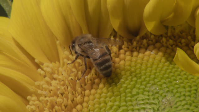 vídeos de stock, filmes e b-roll de honey bee (apis mellifera) feeds on sunflower (helianthus) in field, worcestershire, england - polinização