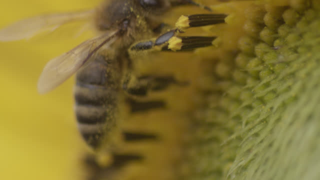 vídeos de stock, filmes e b-roll de honey bee (apis mellifera) feeds on sunflower (helianthus) in field, worcestershire, england - abelha