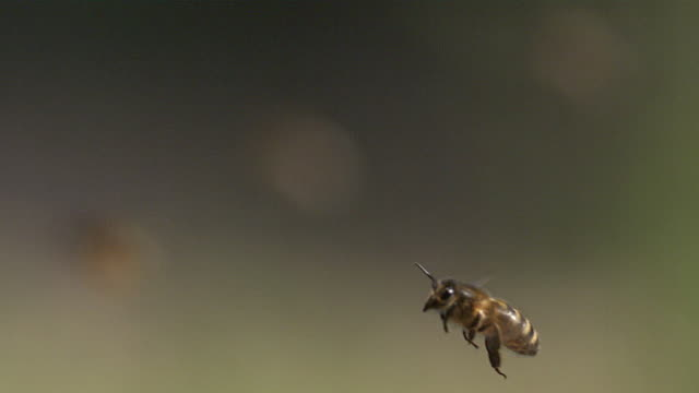 MS SLO MO Honey bee flying for beehive / Vieux Pont, Normandy, France