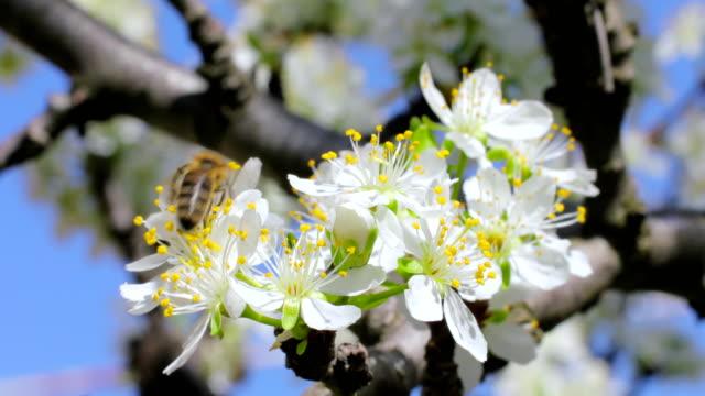 vídeos de stock, filmes e b-roll de abelha voando em direção a flor de maçã - abelha obreira
