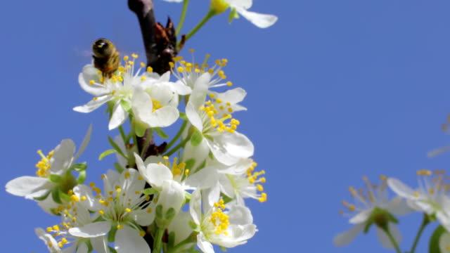 Honey Bee flying towards apple blossom