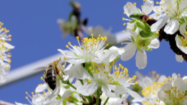 honey bee flying towards apple blossom - limb body part stock videos & royalty-free footage