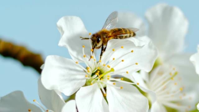 stockvideo's en b-roll-footage met slo mo ld honingbij (apis mellifera carnica) verzamelen stuifmeel op een witte kersenbloesem - honingbij