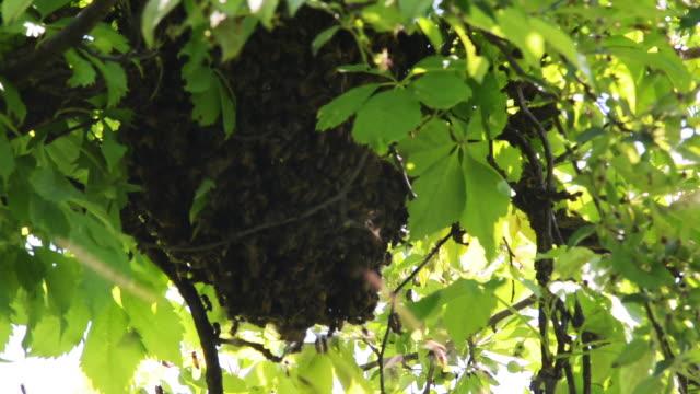 Honey bee hanging from tree