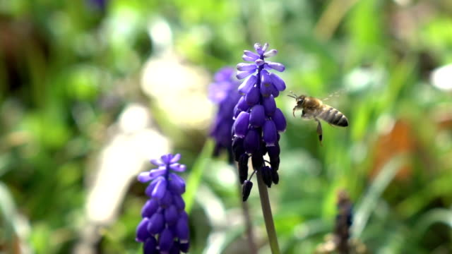 Honey Bee Harvesting Grape Hyacinth