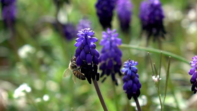 honey bee harvesting grape hyacinth - selimaksan stock videos & royalty-free footage