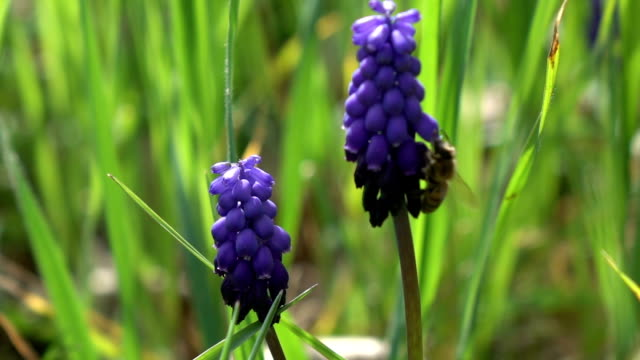 honey bee harvesting grape hyacinth - hyacinth stock videos & royalty-free footage