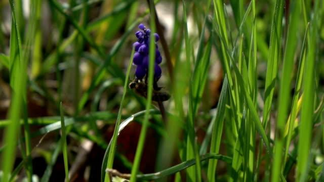 Honey Bee Harvesting Grape Hyacinth