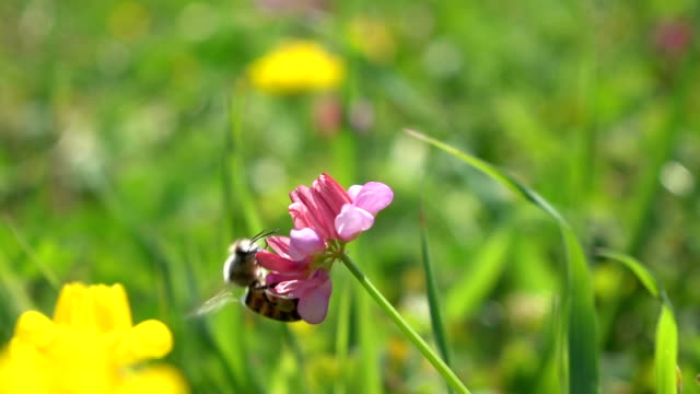 Honey Bee Harvesting Wild Flower