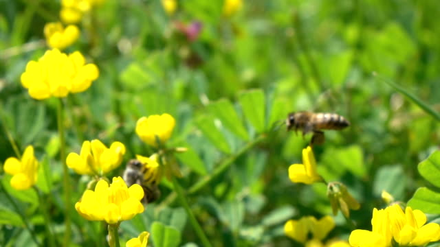 honey bee harvesting wild flower - selimaksan stock videos & royalty-free footage