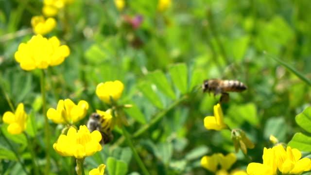 Honey Bee Harvesting Wild Flower