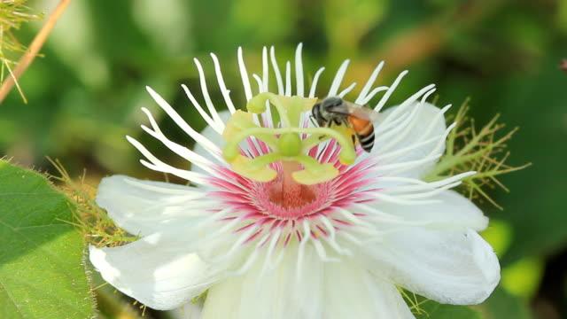 honey bee in stinking passion flower - passionsfrukt bildbanksvideor och videomaterial från bakom kulisserna