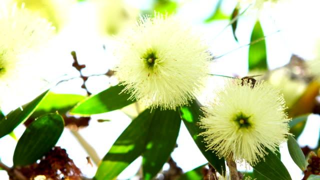 stockvideo's en b-roll-footage met honingbij in witte bloemen - honingbij