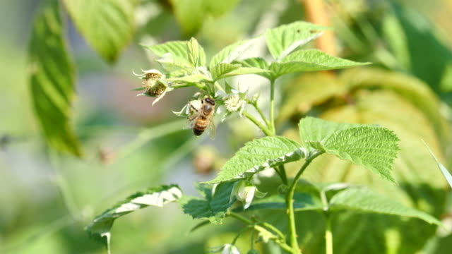 vídeos y material grabado en eventos de stock de miel de abeja es polinizar una flor de frambuesa - austria